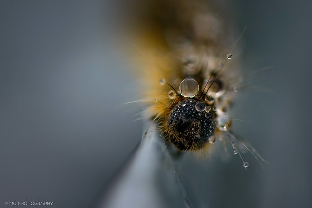 Macro Mondays - Drips, Drops and Splashes- Rain Droplets on a Caterpillar