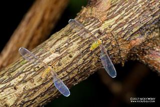 Derbid planthopper (Derbidae) - DSC_6010