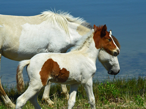 Chincoteague wild ponies | by pontla