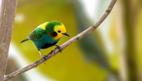 Multicoloured Tanager- Chlorochrysa nitidissima, endemic of Colombia | by CORAVES COLOMBIA PHOTOEXPEDITIONS