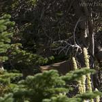 Mule Deer buck hiding in trees