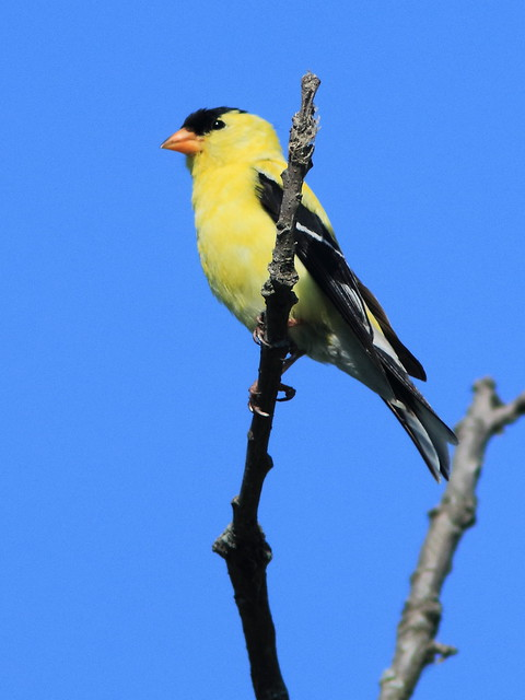 American Goldfinch 02-20170709