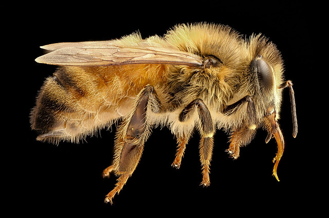 Apis mellifera, light body, side, beltsville, md_2017-05-26-15.27