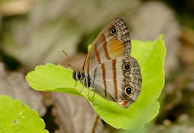 Gold-stained Satyr ----  Cissia pseudoconfusa