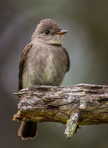 westernwoodpewee woodpewee pewee contopussordidulus contopus tyrantflycatcher tyrannidae flycatcher nigelje kettleriver bird