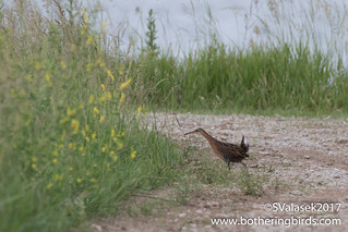 King Rail | by Bothering Birds