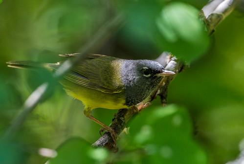 macgillivrayswarbler warbler woodwarblers newworldwarbler geothlypistolmiei geothlypis parulidae nigelje kettleriver bird