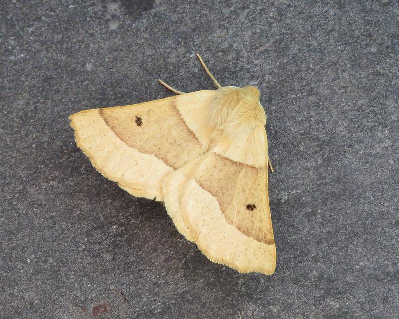 70.241 Scalloped Oak - Crocallis elinguaria