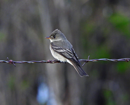 --Pewee-Western Wood-NM-Maxwell-DSCN9162 copy 2 | by Tricolor Brian
