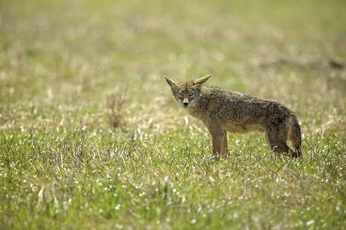 Cross-eyed Coyote | by lennycarl08