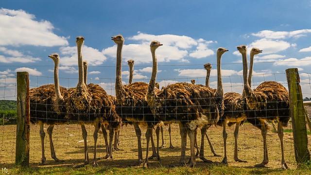 Belgian ostriches