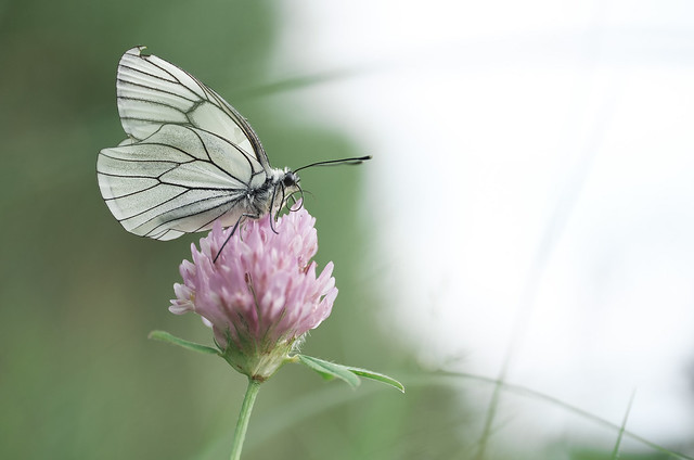 Alıç Kelebeği / Aporia crataegi / Black-veined White
