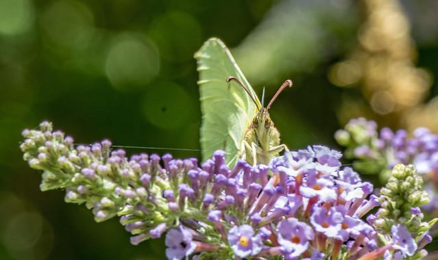 Gonepteryx rhamni, le Citron  Lepidoptera - Pieridae