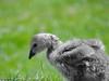 Barnacle gosling by Corine Bliek
