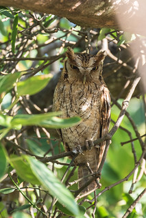 9K0A1912 Tropical Screech-owl, Otus choliba, Megascops choliba. | by jwsteffelaar