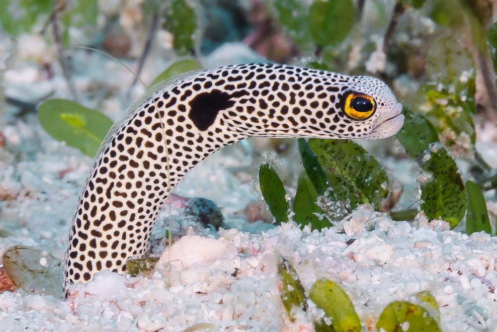 Spotted Garden Eel , Heteroconger hassi
