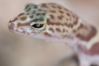 Desert Banded Gecko | by Jeremy Wright Photography
