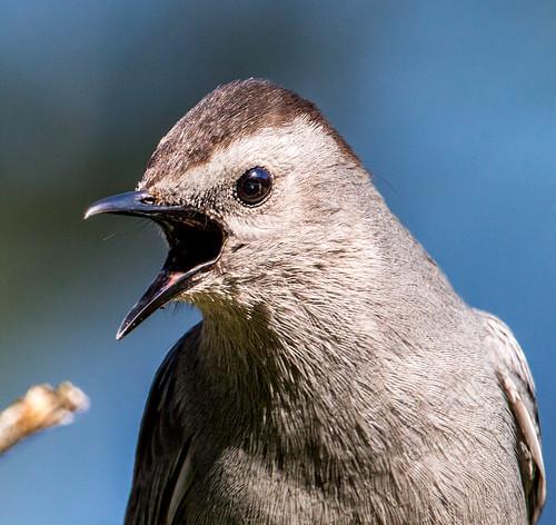 greycatbird graycatbird dumetellacarolinensis dumetella slatecoloredmockingbird catbird mimidae nigelje