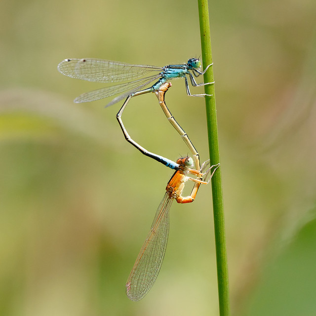 Scarce blue-tailed damselfly pair