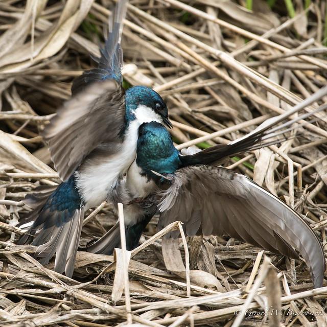 Tree Swallow - Battle