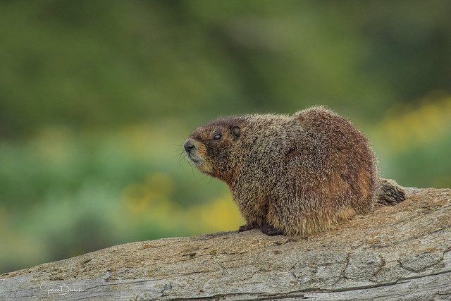 Yellow Bellied Marmot 2