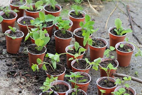 Rasaduri plante melifere | by MyBees.ro