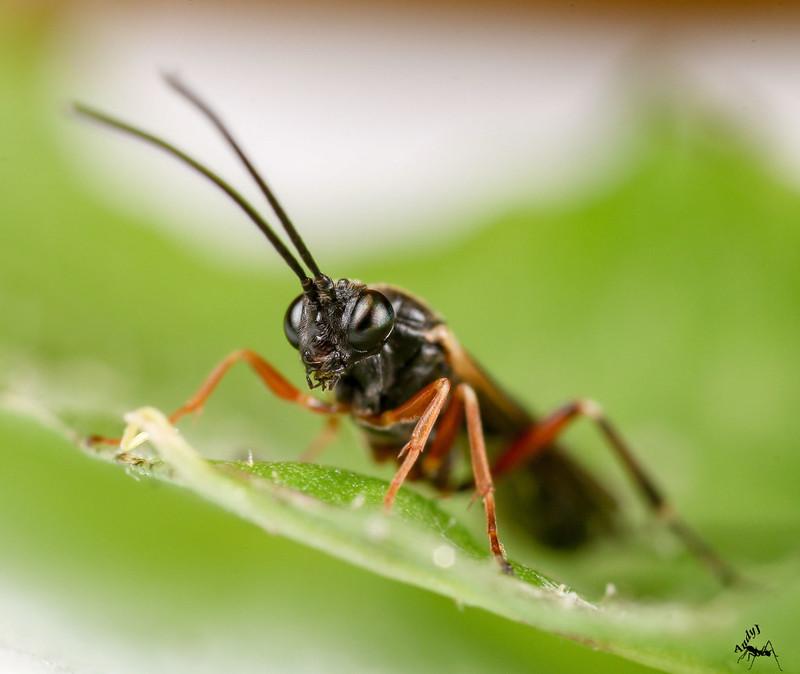Parasitic-wasp