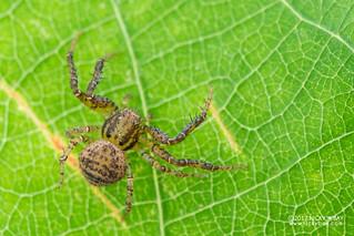 Crab spider (cf. Pycnaxis sp.) - DSC_5412