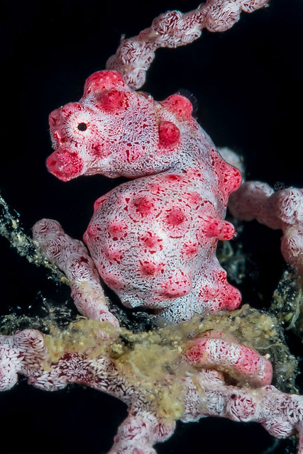 Pygmy Seahorse - Hippocampus bargibanti
