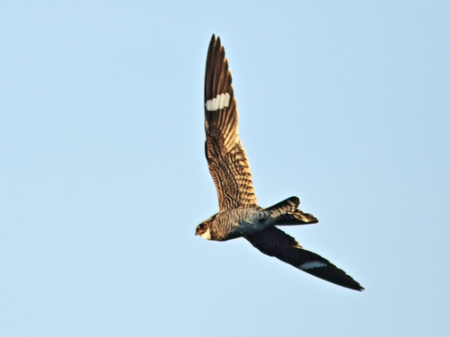 Common Nighthawk in flight 3-20170617