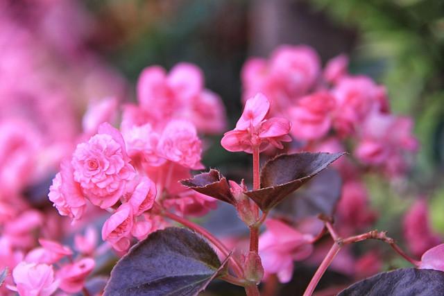 Bursting `Pink - Sri Lanka