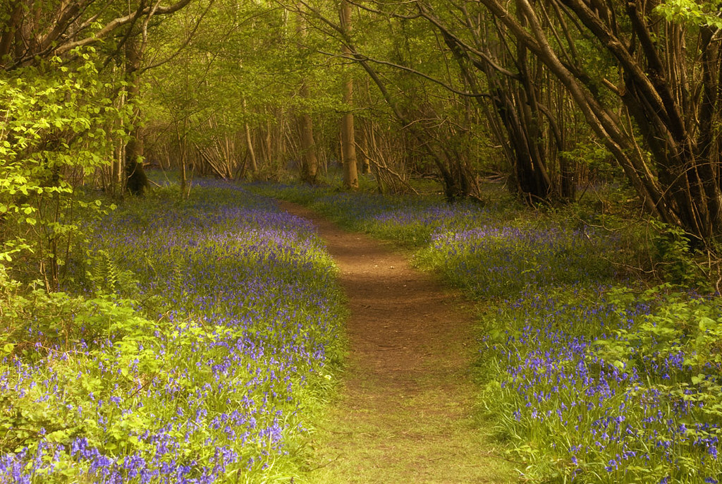 bluebell path ...