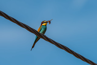 European Bee Eater (Abelharuco) with Hornet | by www.craigrogers.photography