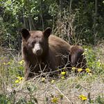 Cinnamon bear and dandelions