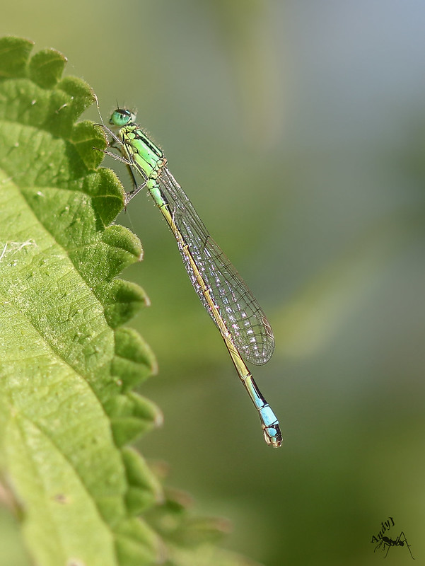 Blue tailed Damselfly (female)