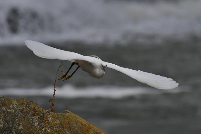 Aigrette garzette - Egretta garzetta - Little egret