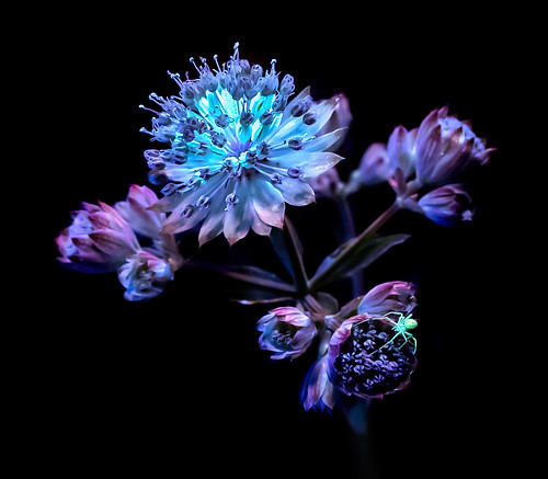 flower night spider uv ultraviolet uvivf fluorescing fluorescent macro nature glowing insect blue