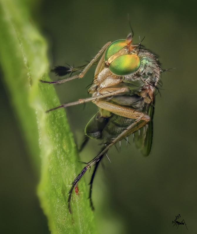 Dolichopodidae sp ?