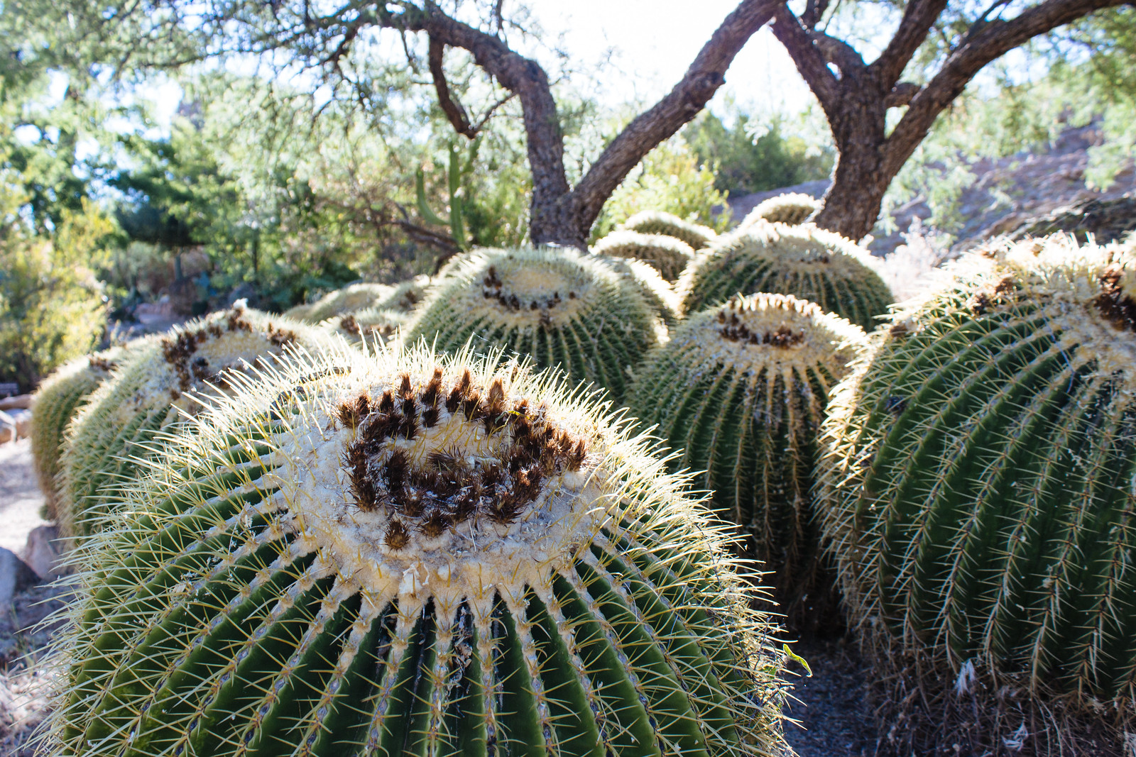 Group of half a dozen short, round barrel cactus