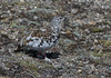 White-tailed Ptarmigan 10 by oc14me