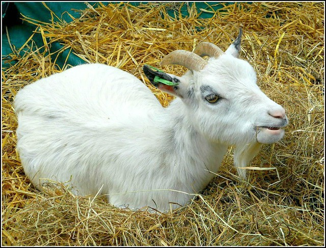 One Contented Goat ...