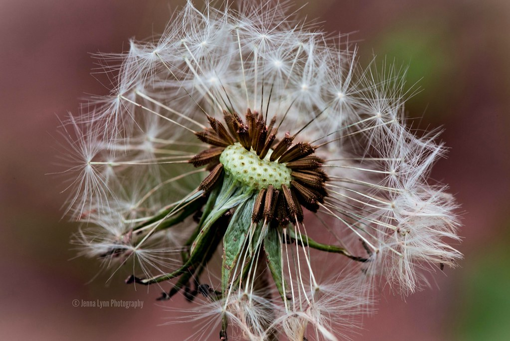 DANDYlion | Get ready to make a wish, this dandelion is read… | Flickr