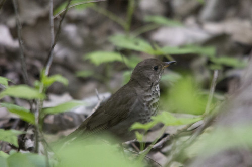 Gray-cheeked Thrush | by Birding In New Jersey