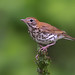 Wood thrush by Phiddy1