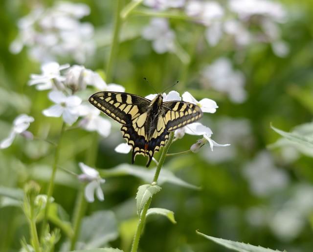 Swallowtail Butterfly - RSPB Strumpshaw Fen
