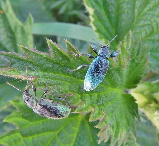 Nettle Weevil, Phyllobius pomacues