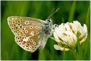 Common Blue Buttefly. | by Fen Photos