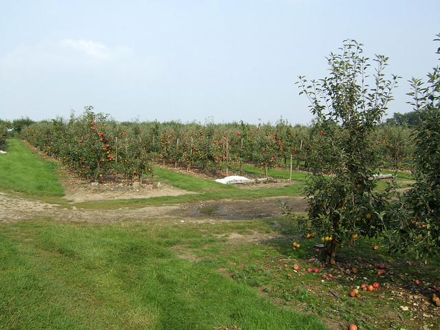 Orchard near Upchurch