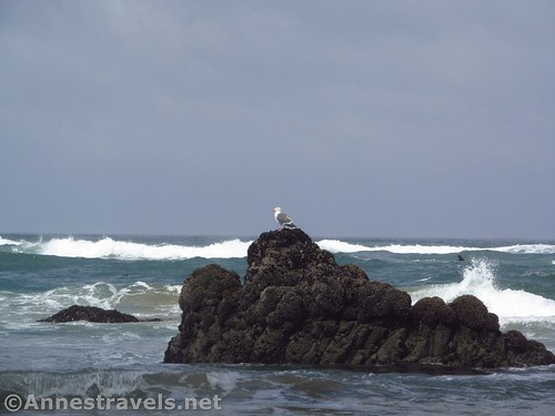 Lone sea gull at Cannon Beach, Oregon