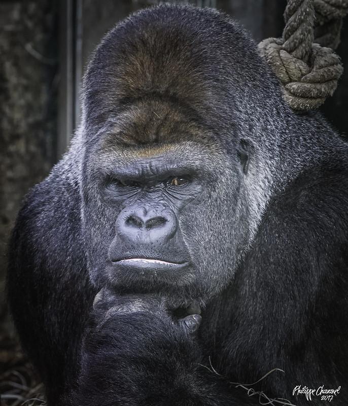 Gorilles - Archives 34541045000_d50d270252_c
